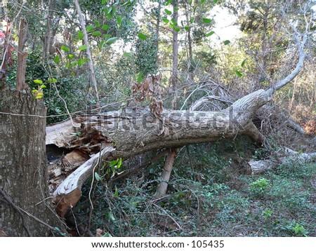 hurricane aftermath ivan tree ground root devastation devastate