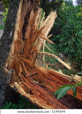HURRICANE DAMAGE. The result of Hurricane Ivan on a tree in a coffee farm in the Blue Mountains, Jamaica, Caribbean.