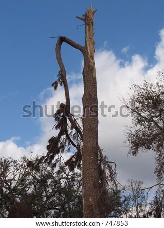 Hurricane Katrina tree damage near Biloxi, Mississippi.