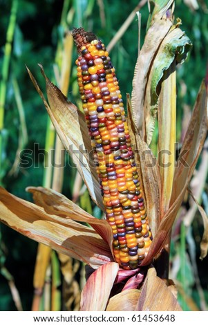 Husk of colorful Indian corn ready to be harvested