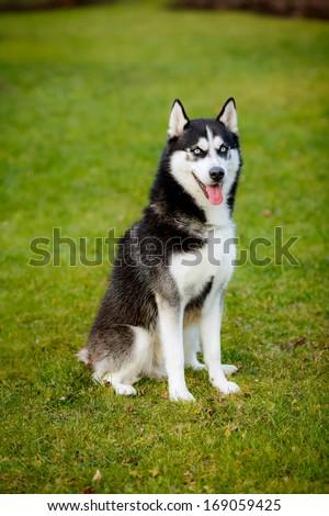 Husky #169059425