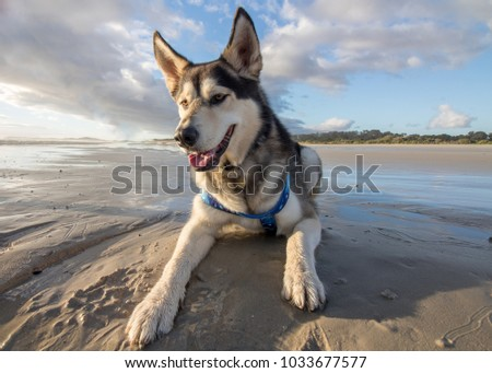 husky dog having fun at the...