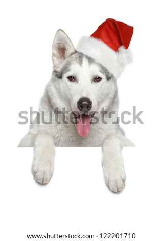 Husky dog in Santa red hat looking at you on white banner
