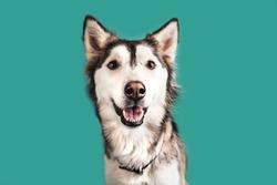 Husky Dog Isolated on Colored Background