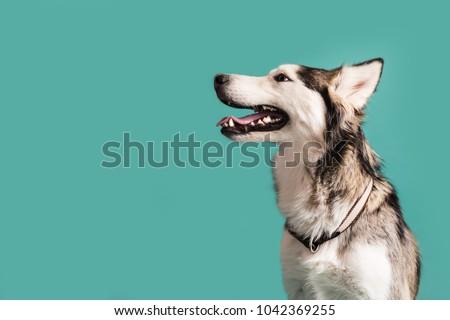 husky dog isolated on colored...