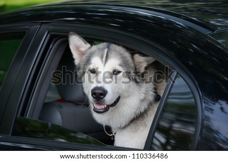 Husky dog looking out of a motor car window