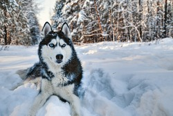 Husky dog lying in the snow. Black and white Siberian husky with blue eyes on a walk in winter park.