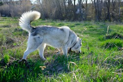 Husky dog on a walk in the Park sniffs the grass
