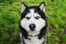Husky dog on the grass background. Portrait of a Siberian Husky. Black and white Siberian husky with blue eyes.