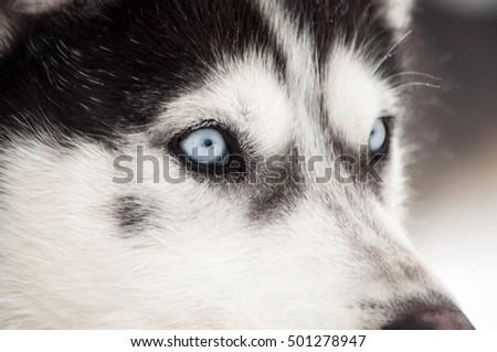 Husky dog portrait in the winter snow #501278947