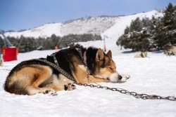 Husky dog sleeping on winter day outdoors in Lapland, Finland