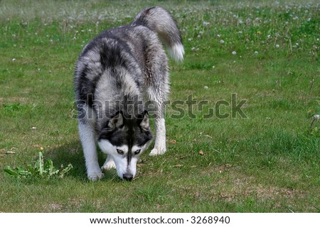 husky dog sniffing in the grass