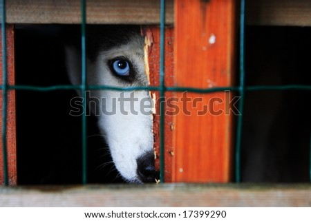 husky in cage