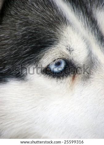 husky in snow #25599316