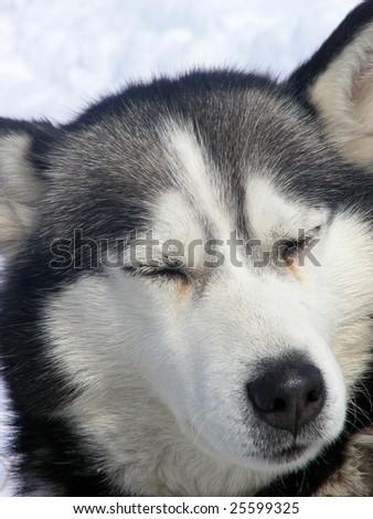 husky in snow #25599325
