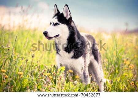 Husky in the middle of green grass