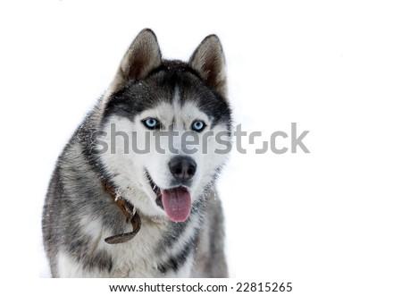 husky isolated