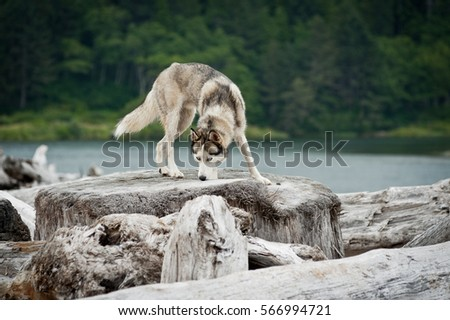 husky jumping over logs in mora ...