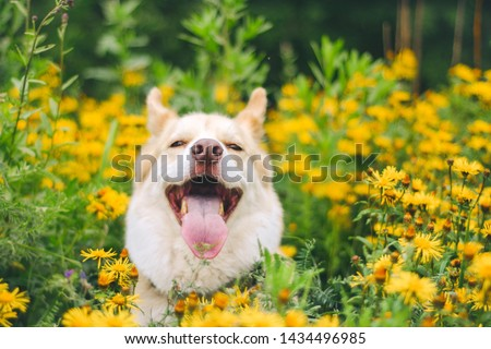 husky laughs at the camera sitting in the flowers #1434496985