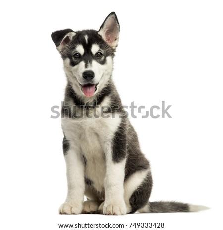 Husky Malamute Puppy Sitting Panting Isolated On White Ez Canvas