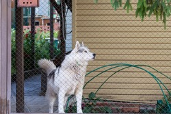 Husky pet dog guards the house in the yard behind the fence in summer