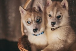 Husky puppies are in the basket