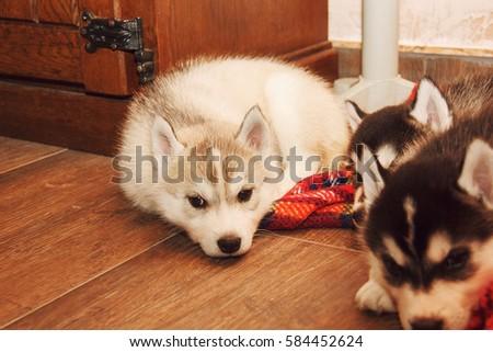 Husky puppy #584452624