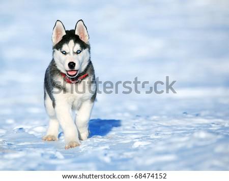 Sibirski haski - Page 4 Stock-photo-husky-puppy-68474152