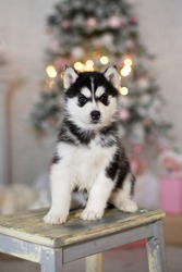 Husky puppy. A small dog. Siberian husky on a white chair against the background of a Christmas tree