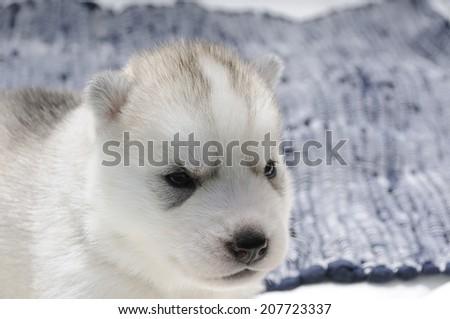 Husky puppy face