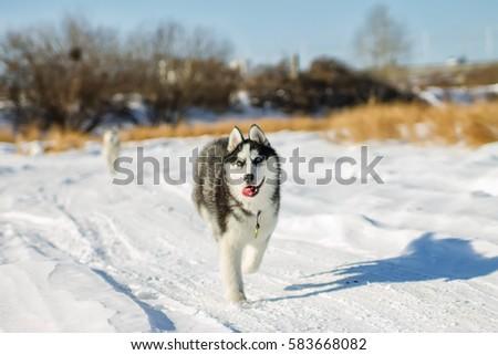Husky Puppy fun running on the snow drifts. #583668082