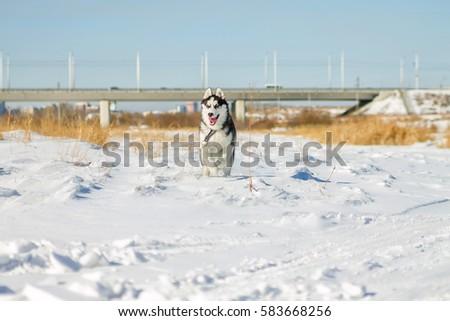 Husky Puppy fun running on the snow drifts. #583668256