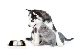 Husky puppy hugs kitten and looks at empty bowl. isolated on white background