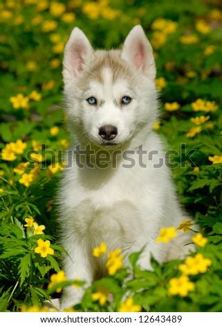 husky puppy in deep yellow flowers