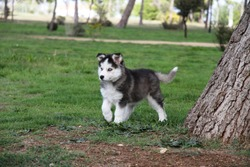 Husky Puppy in the park  spring