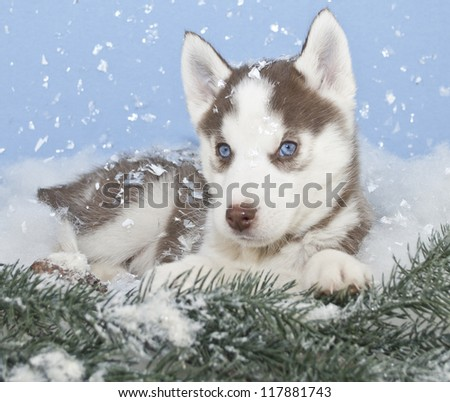 Husky puppy laying in snow with snow falling around him.