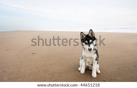 husky puppy on the beach