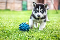 husky puppy plays with ball and snail on the green grass