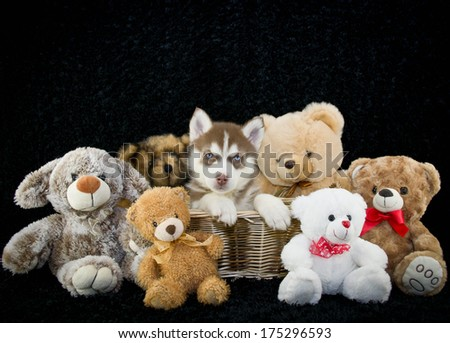 Husky Puppy Sitting in the Middle of Stuffed toys with copy space.