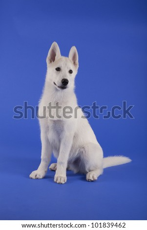 husky puppy sitting in the studio on blue background - stock photo
