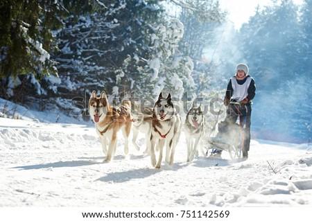 husky sled dog racing Stock photo ©