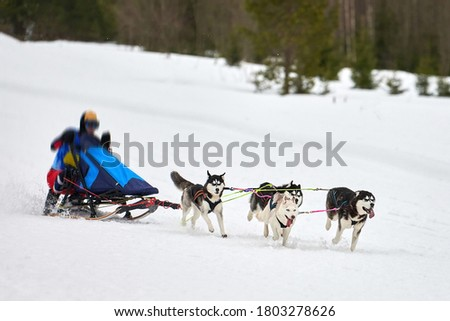 Husky sled dog racing. Winter dog sport sled team competition. Siberian husky dogs pull sled with musher. Active running on snowy cross country track road Stock photo ©