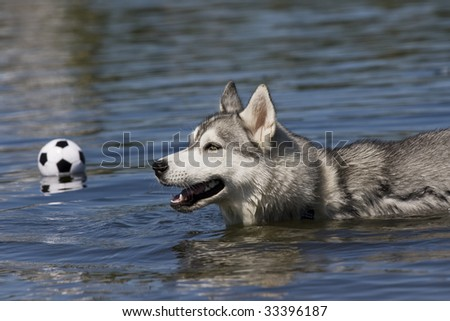 husky swiming
