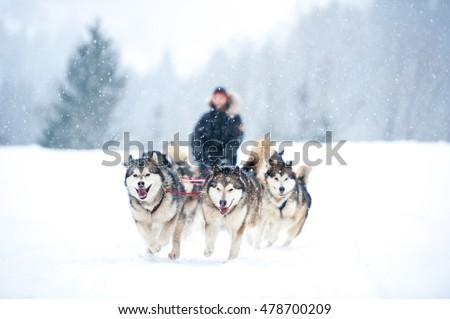 Huskys in Sibratsgfaell, Austria