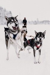 Huskytour. Huskydrive. Husky. Dogs. Winterwonderland. Holidays in Finland Lapland. Beautiful snowlandscape.