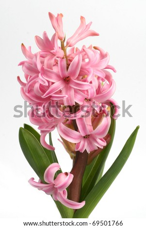Hyacinth - stock photo