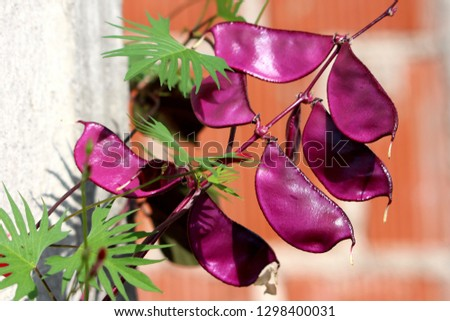 Hyacinth bean or Lablab purpureus or Ruby Moon Hyacinth Bean or Lablab-bean or Bonavist bean dolichos bean