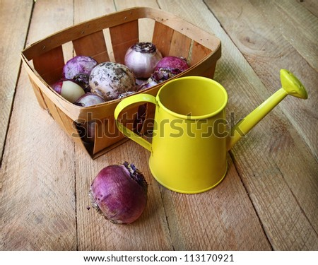 Hyacinth bulbs in a basket and yellow watering-can on a wooden table