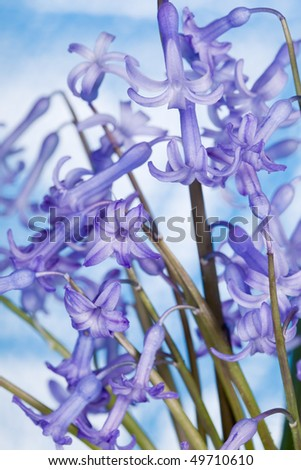 Hyacinth flower against blue sky