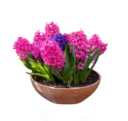 Hyacinth flower isolated on a white background.
